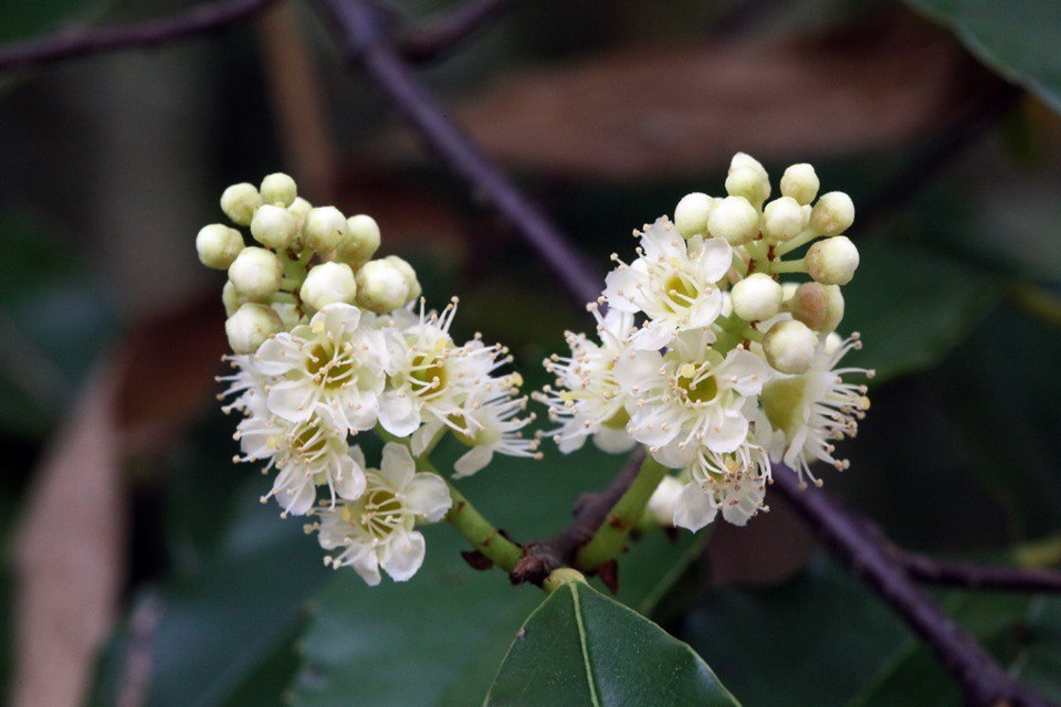 八卦山脈從芬園到社頭的山林間,剩存零星的刺葉桂櫻,這是台灣最稀有的原生櫻花,最近...