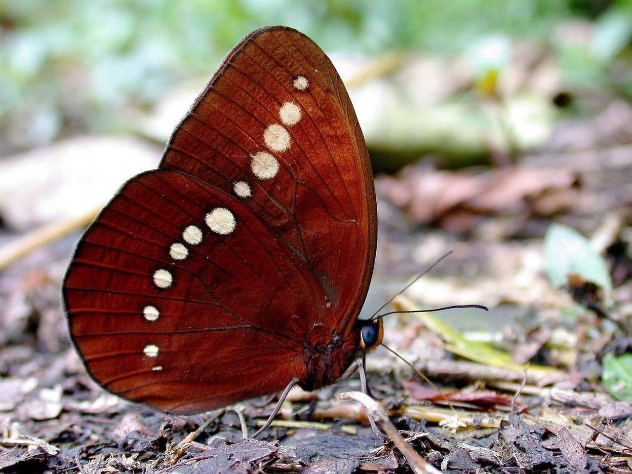尖翅翠蛺蝶分布區域和串珠環蝶很像,基隆在1997年首次觀察到串珠環蝶,專家研判可...