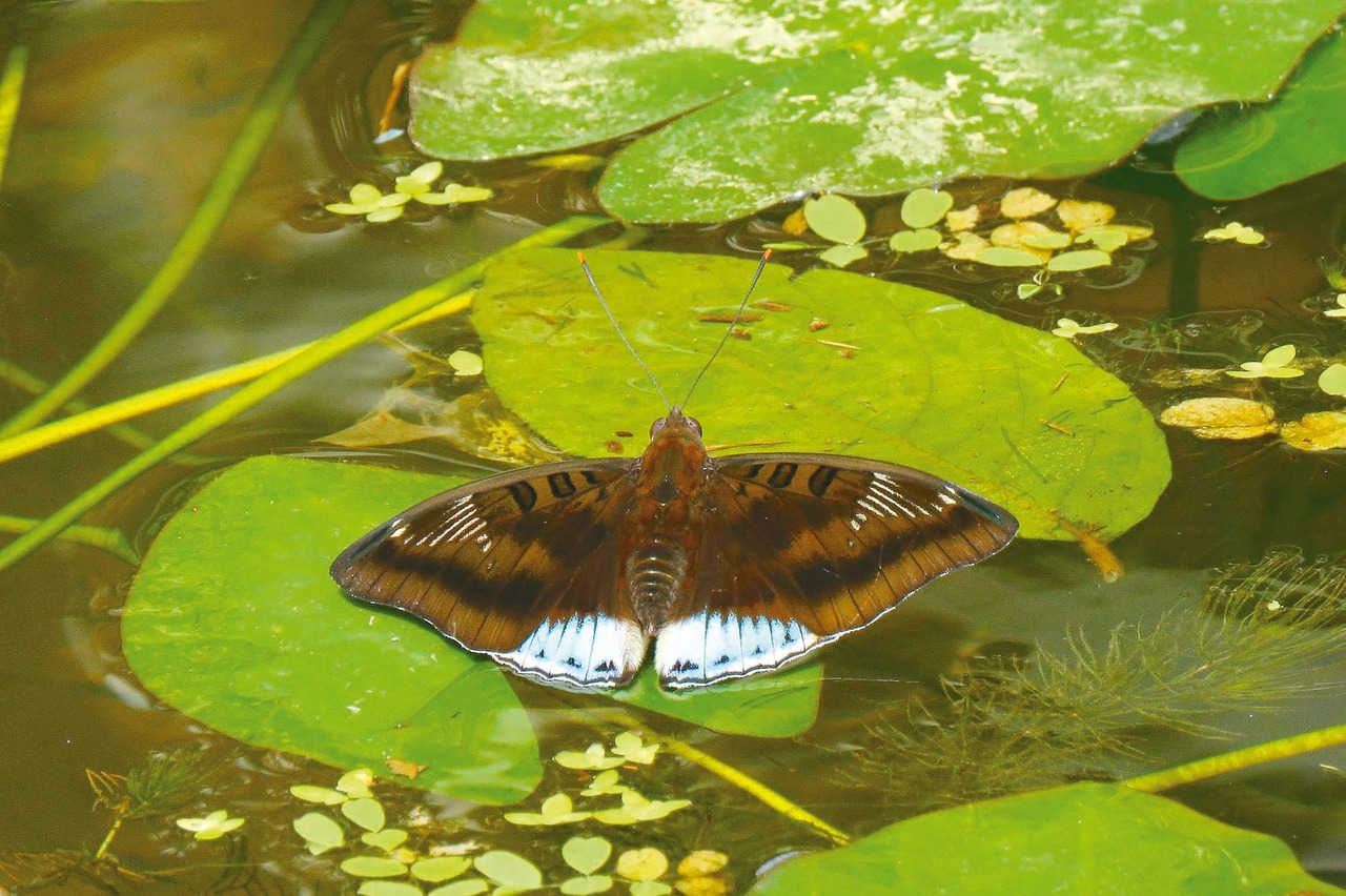 尖翅翠蛺蝶現蹤基隆內寮 台灣新紀錄種