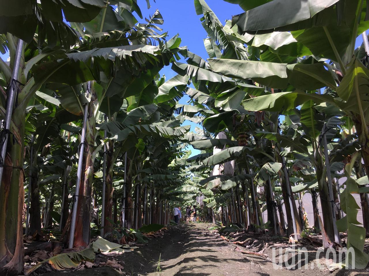 雲林縣加碼補助香蕉收入保險 蕉農繳一成保費獲保障