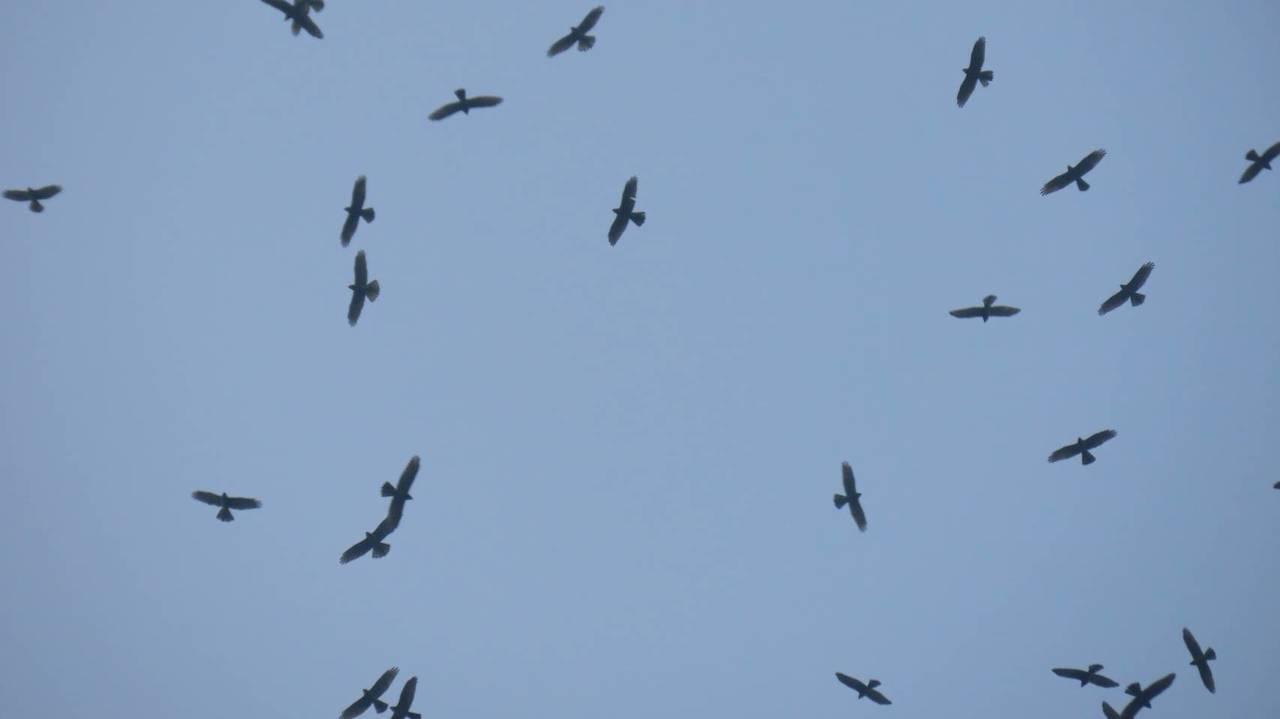 嘉義縣梅山鄉太興村傍晚,意外飛來數十群共上萬隻「國慶鳥」灰面鵟鷹,壯觀如鷹河,上...