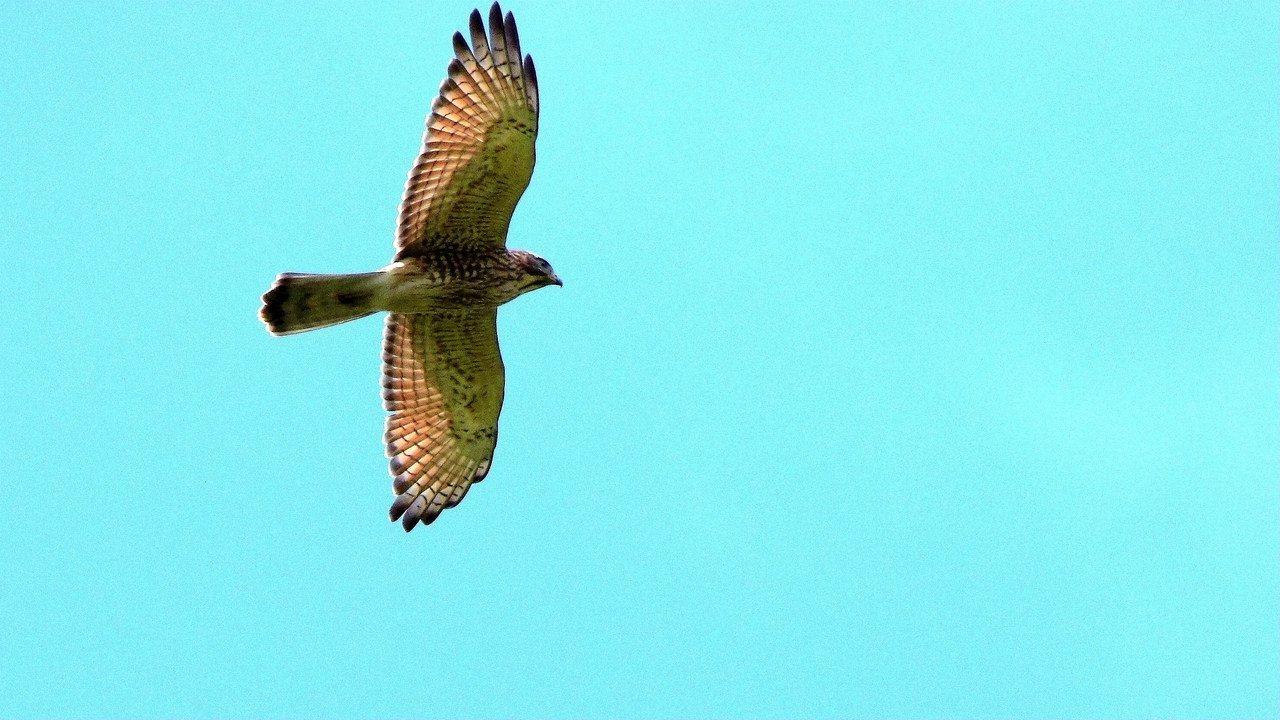 灰面鵟鷹每年國慶日前後,大量過境恆春半島,再南下東南亞度冬,被稱「國慶鳥」。圖/...