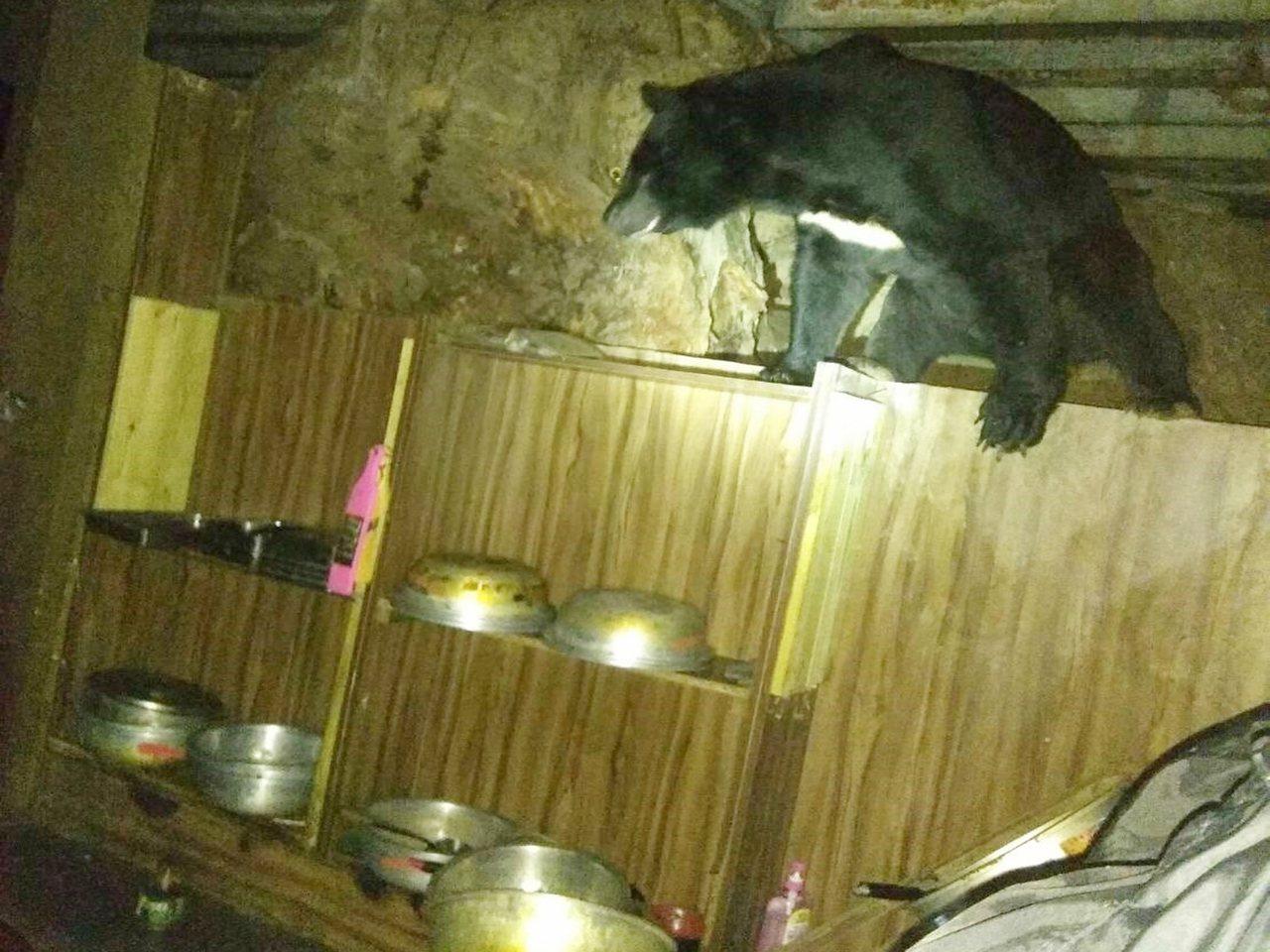 去年6月至8月間,發生4次台灣黑熊闖入嘉明湖避難山屋廚房覓食事件。圖/天馬登山社...