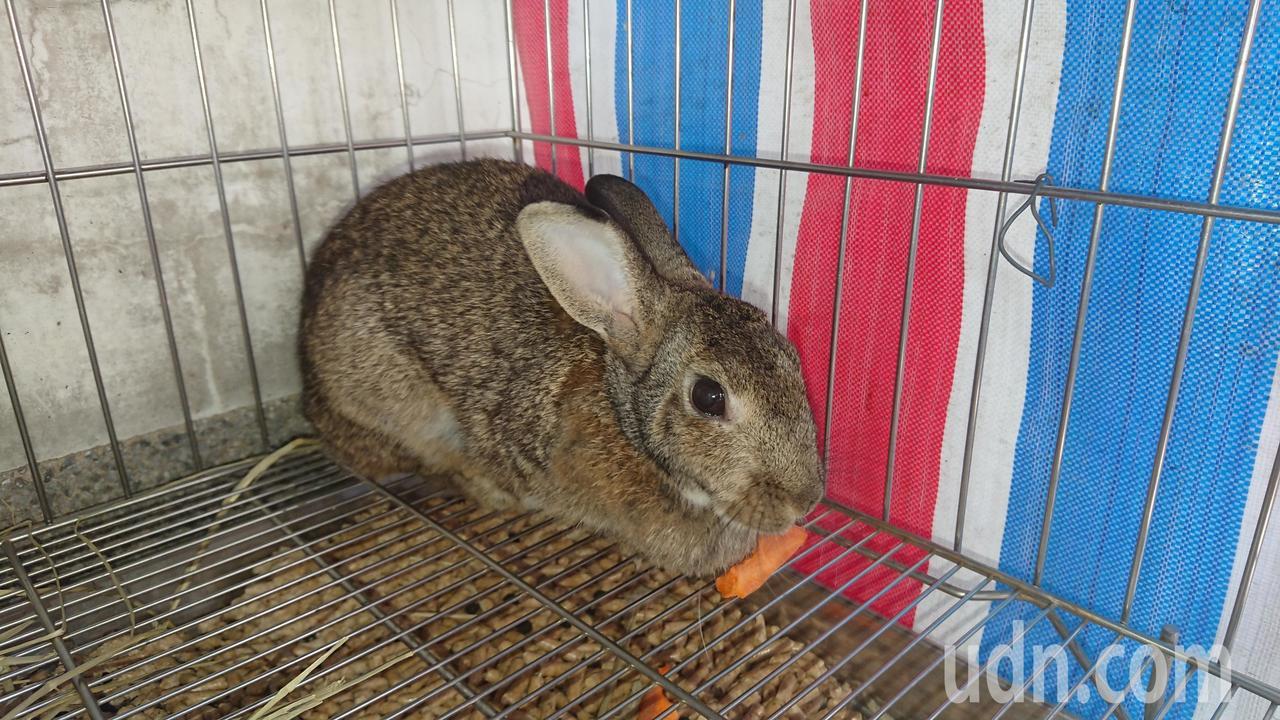 水上分局長逮捕到小灰兔 目前「保護管束」中。記者卜敏正/攝影