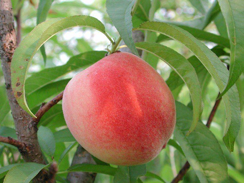 圖/桃台農7號的研發,讓台灣得以在4月食用到新鮮水蜜桃。取自行政院農業委員會農業...
