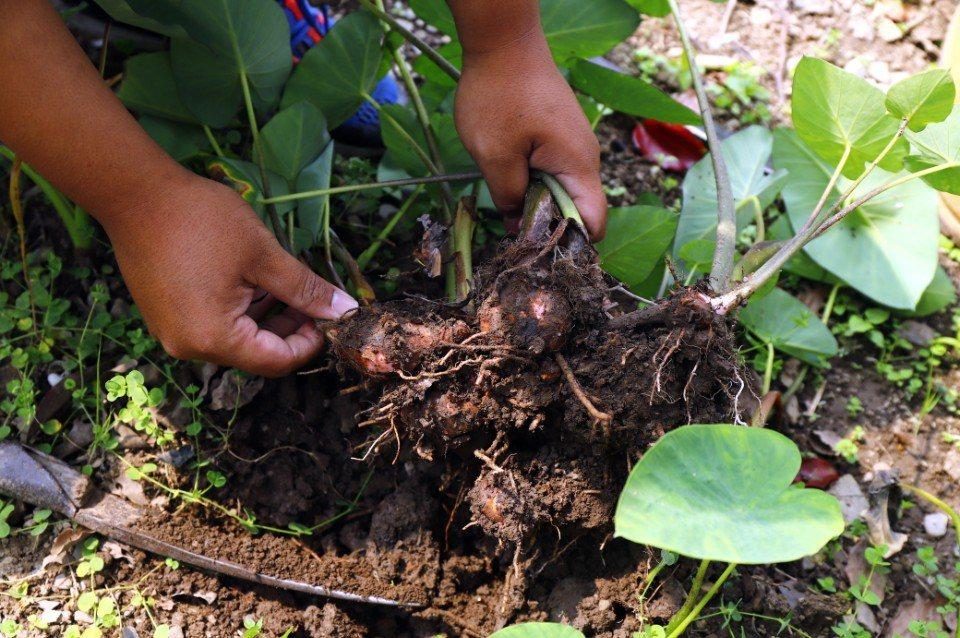 在部落青年的講解下,親自在山芋頭田挖出一顆顆小巧的山芋頭。