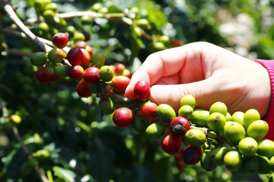 整顆紅透的咖啡果食材可採摘,另外也要觀察蒂頭的顏色變化。