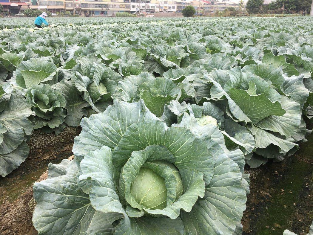 秋冬季節是高麗菜盛產期,市場傳出價格崩盤。圖/本報資料照