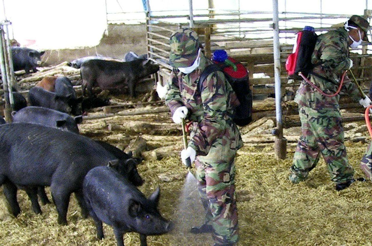 南韓官兵動員官兵執行豬瘟防疫工作。美聯社