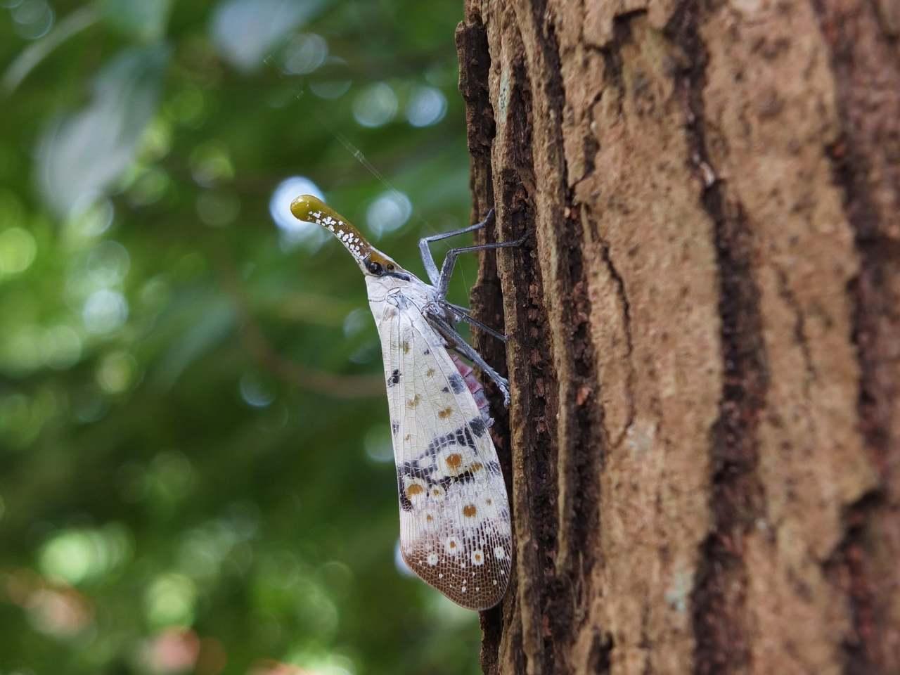 渡邊氏東方蠟蟬曾列名保育類昆蟲,每年7月為產卵盛產期。圖/沈錦豐提供