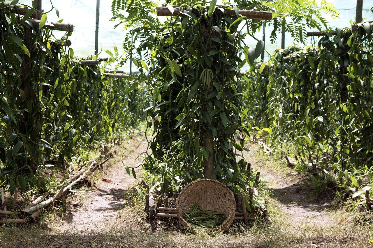 五月梵尼蘭生長於馬達加斯加島。圖/香奈兒提供