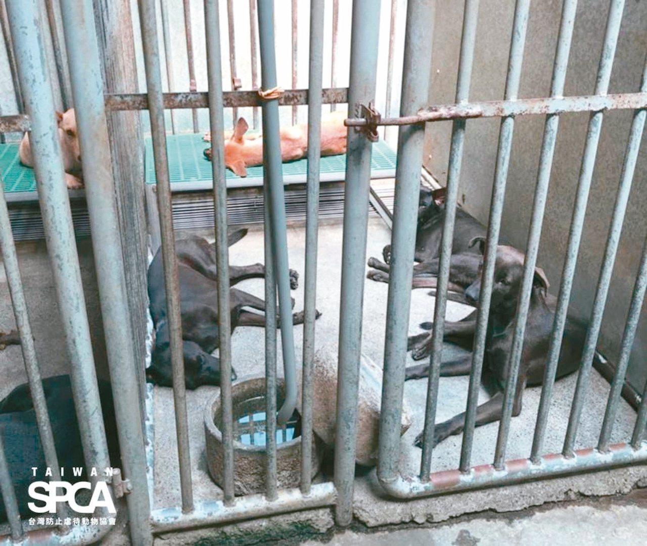 彰化員林流浪犬收容所狹小的籠舍,最多僅適合收容2隻,如今卻塞了5隻。 圖/台灣防...