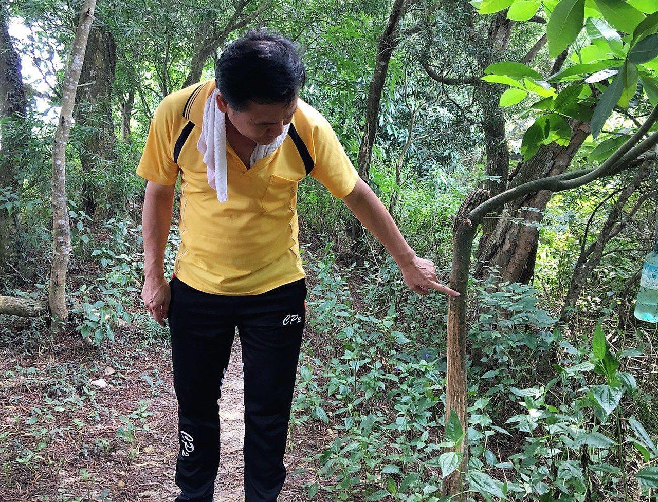 山友發現清水岩寺後方步道樹幹上出現被水鹿摩擦過的痕跡。 圖/民眾提供