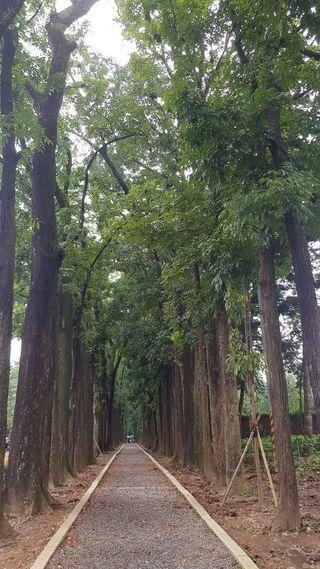 「新威森林公園」擁有最著名全長近二公里的桃花心木步道,筆直高聳入天的桃花心木形成...