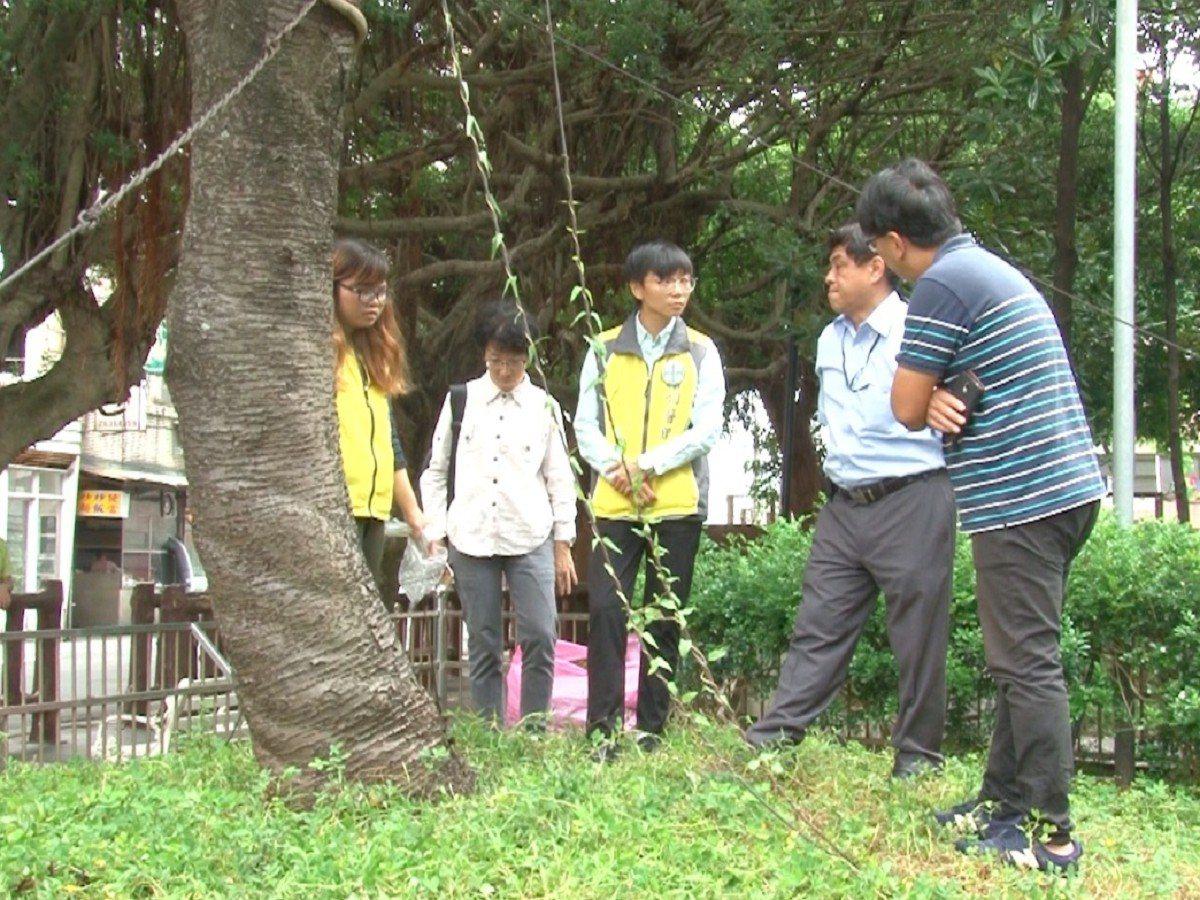 三芝區公所前公園有一株百年櫻花樹,有花開不茂密,還有點枝枯,樹醫生初診斷有流膠病...