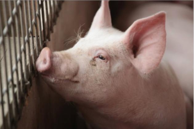9月中國大陸豬肉價格飆升69.3%。(香港信報財經網)