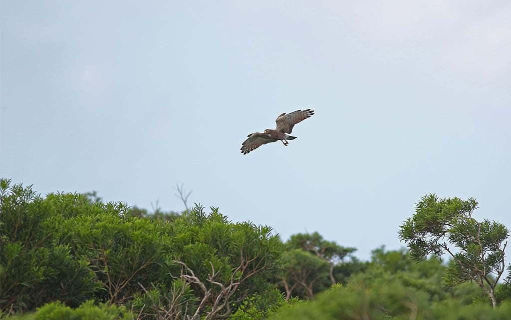 每年雙十國慶前後來報到的「國慶鳥」灰面鵟鷹,下午夜棲出山林,隔天上午南飛;昨天單...