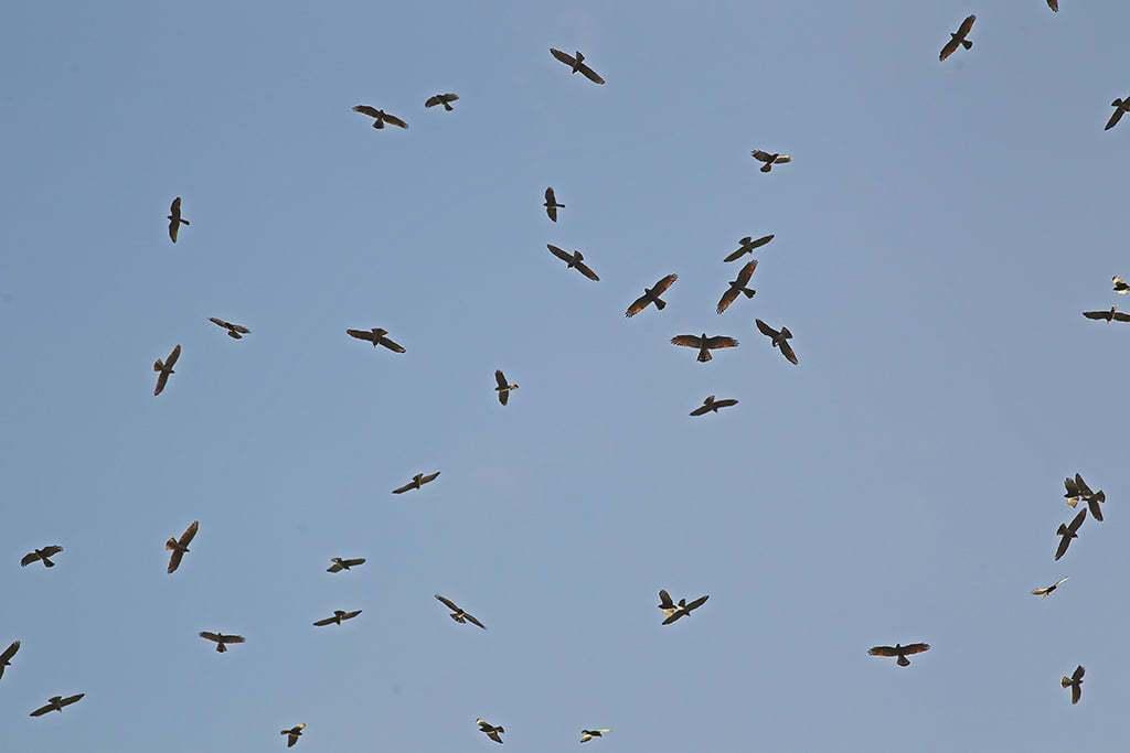 每年雙十國慶前後來報到的「國慶鳥」灰面鵟鷹,昨天單日紀錄到上萬隻過境,累積逾2萬...