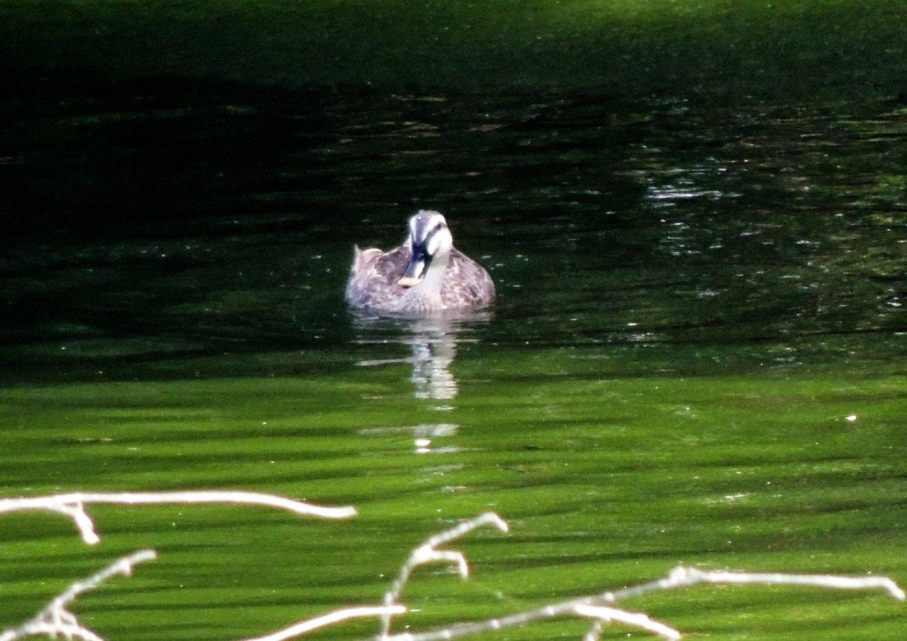 今天下午一隻花嘴鴨悠閒的在太平溪人工濕地水塘覓食。記者羅紹平/攝影