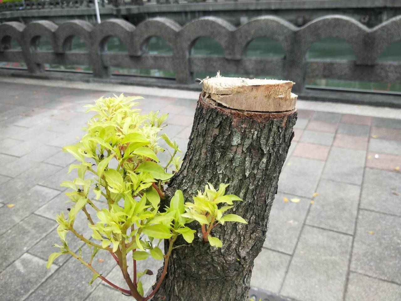 基隆市田寮河兩岸共有12棵樟樹被砍斷,3棵被環狀剝皮,市府已向警方報案追緝。記者...