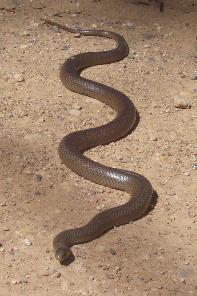 東部棕蛇(Eastern brown snake)被稱為是世界上第二毒的蛇。如果...