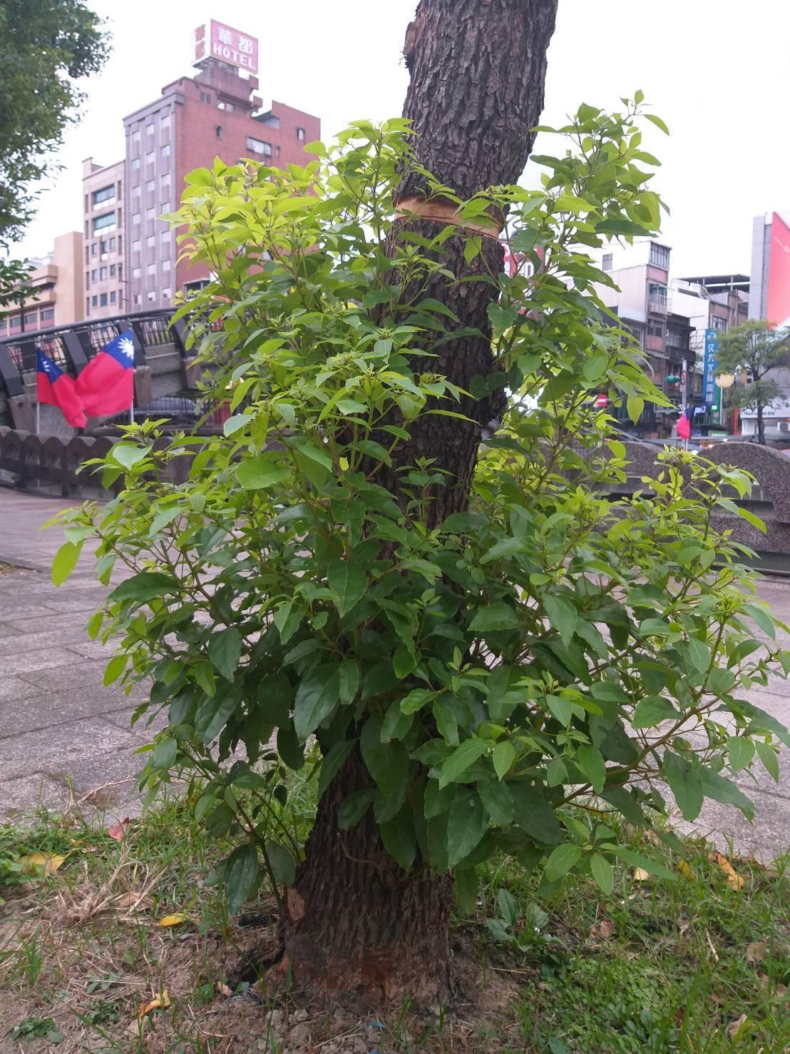 宜蘭大學園藝系教授尤進欽說,樟樹被環狀剝皮處位置較高,研判並非要讓樟樹死亡,而是...