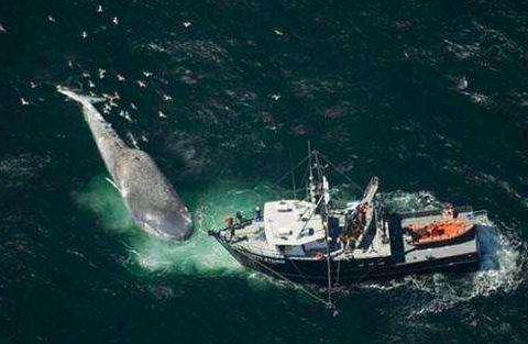 大型艦艇艦上的電子設備會發出電磁波,這些聲波會讓鯨魚鯊魚迷失方向。 (每日頭條)