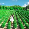 免飛日本「台版波波草」就在彰化!一株株圓滾滾、毛茸茸綠花毯超療癒