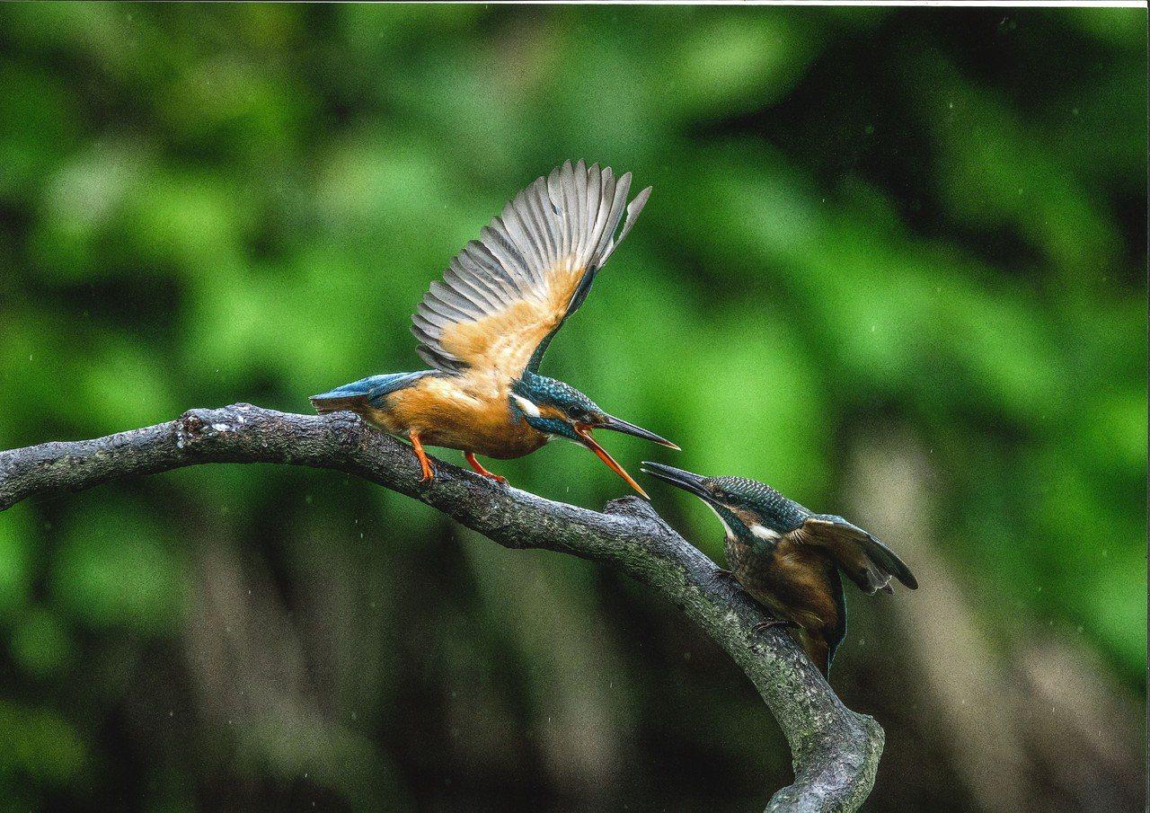 「這什麼鳥啦!」鳥類野趣快閃攝影徵件活動昨公布前5名,4名優選獎包含蔡國全拍下翠...