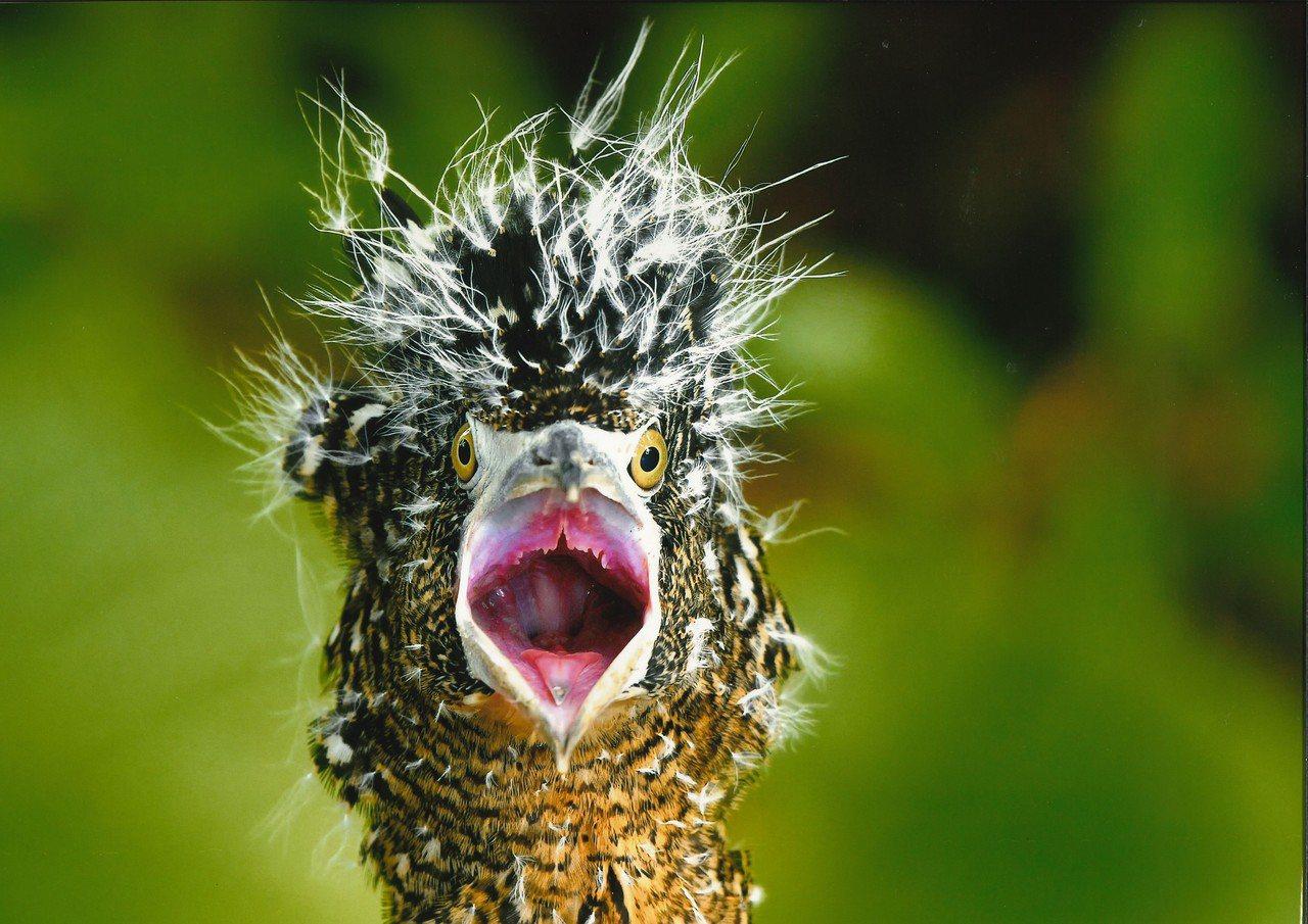 「這什麼鳥啦!」鳥類野趣快閃攝影徵件活動昨公布前5名,4名優選獎包含張禎真拍下黑...