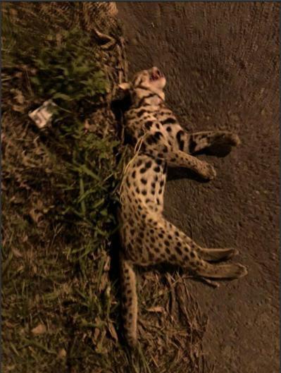 台1線通霄路段15日晚間發現石虎遭路殺,是苗栗縣今年第19件路殺、20隻石虎死亡...