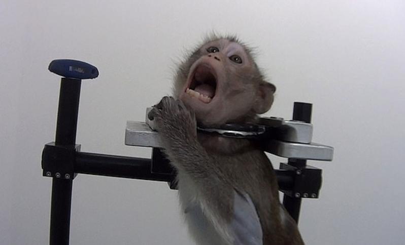 德國藥理與毒理實驗室(LPT)遭爆對動物進行不人道的實驗,甚至將猴子鎖喉強迫其長期站立。圖擷自Daily News