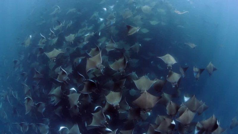 海洋攝影師亞莉4月底來到墨西哥下加利福尼亞灣,湊巧遇到超過萬隻蝠鱝在海中以完美隊形游泳。因蝠鱝向來被認為膽怯,不容易拍攝,亞莉眼見機會難得,直接游上近4個小時跟拍。畫面來源:路透/Newsflare