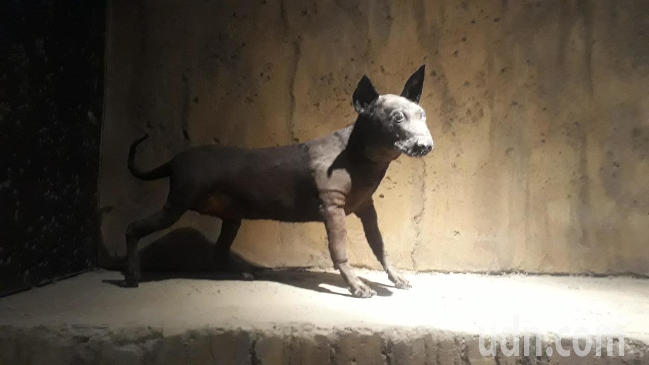南科考古館展出「台灣第一狗」復原模型。記者周宗禎/攝影