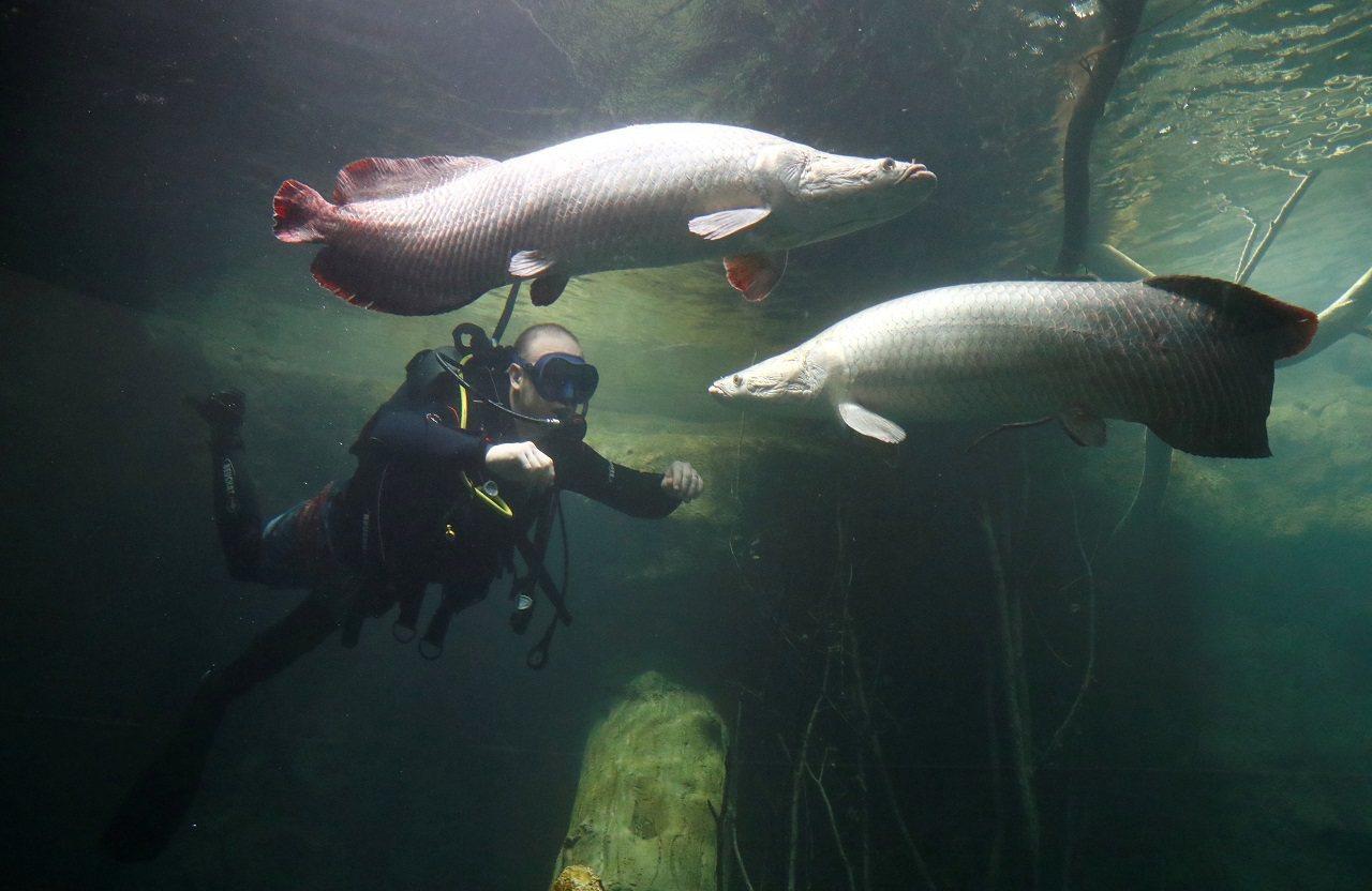 潛水員在瑞士洛桑的歐洲最大淡水水族館「Aquatis」熱帶區檢查巨骨舌魚的狀況。...