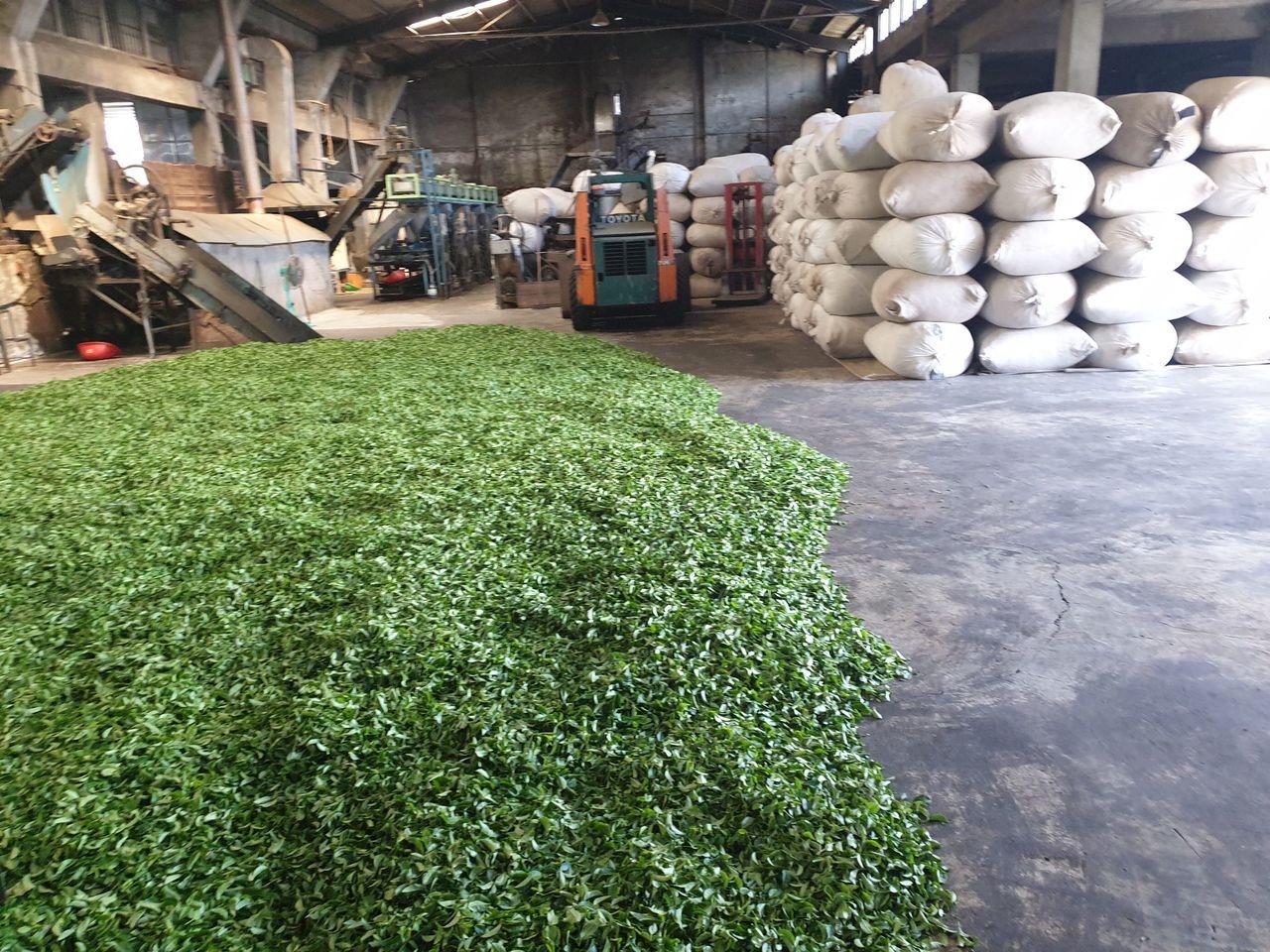 關西鎮長劉德樑到製茶廠訪查,發現有許多製造好的茶葉成品,一包包堆疊起來,倉庫整個...