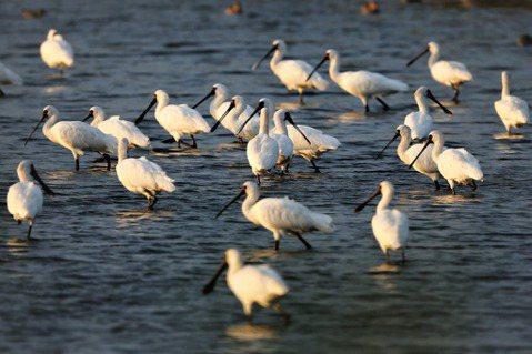 嘉義、台南合計452公頃的國有土地交由保育團體認養,給黑面琵鷺及野鳥一個安心棲息...