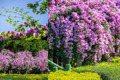 全台花海紫爆! 超驚豔「蒜香藤」紫色瀑布垂掛 賞花期倒數一週動作快