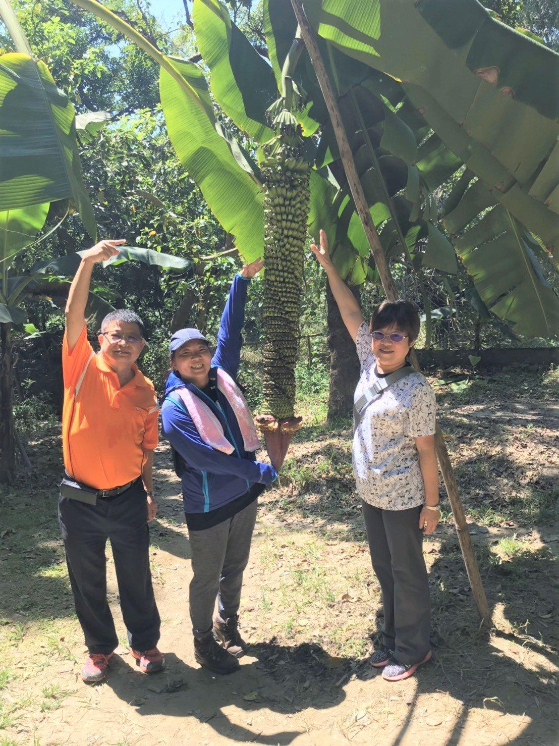 中興大學新化林場千層蕉已長到150公分,吸引遊客駐足拍照打卡。圖/新化林場提供