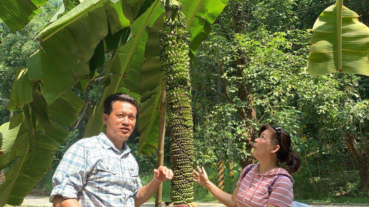 中興大學新化林場千層蕉,令遊客大開眼界。記者吳淑玲/攝影