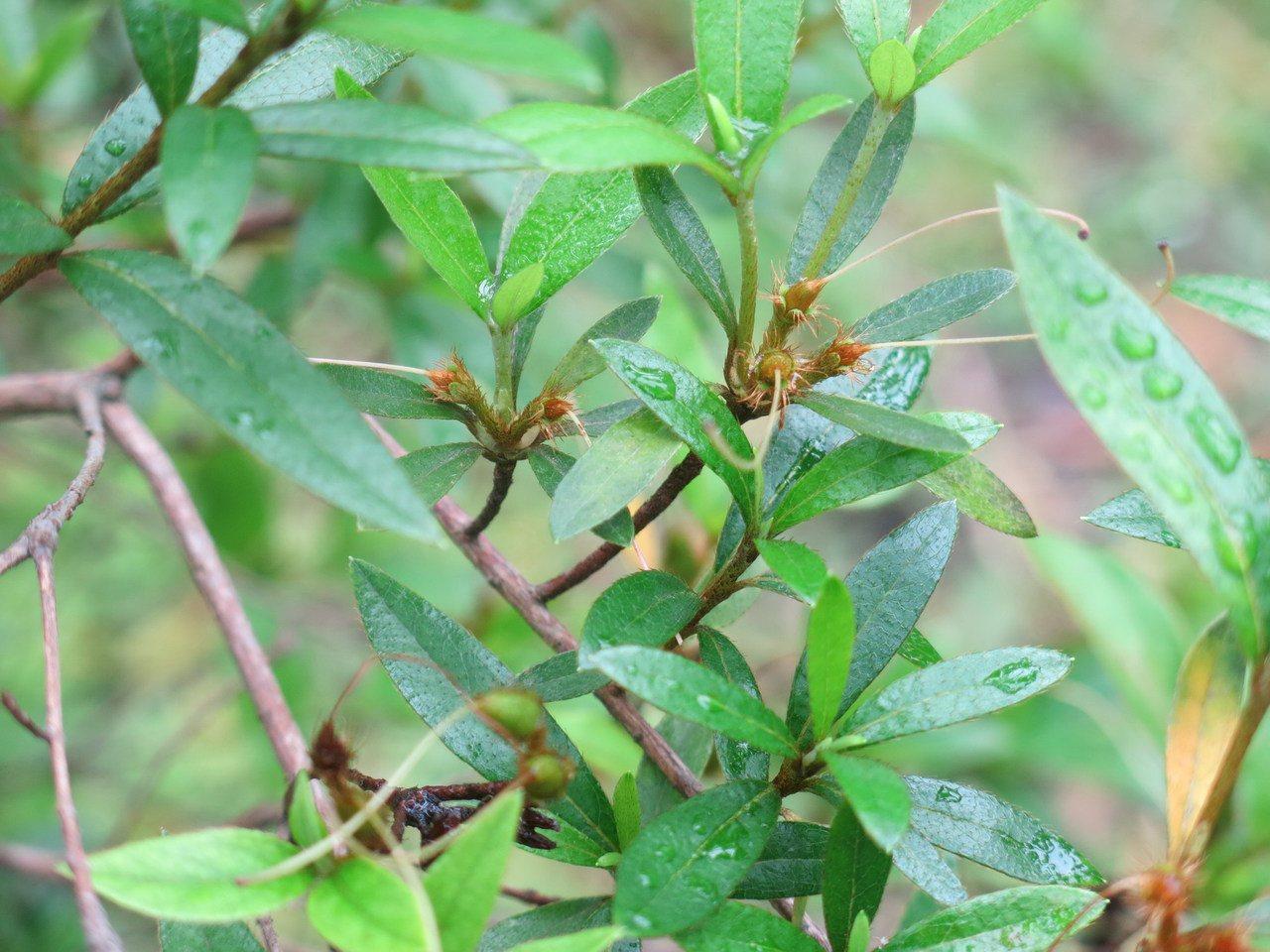 台灣植物紅皮書列為野外滅絕等級的稀有植物烏來杜鵑開花後所結的蒴果。圖/嘉大提供