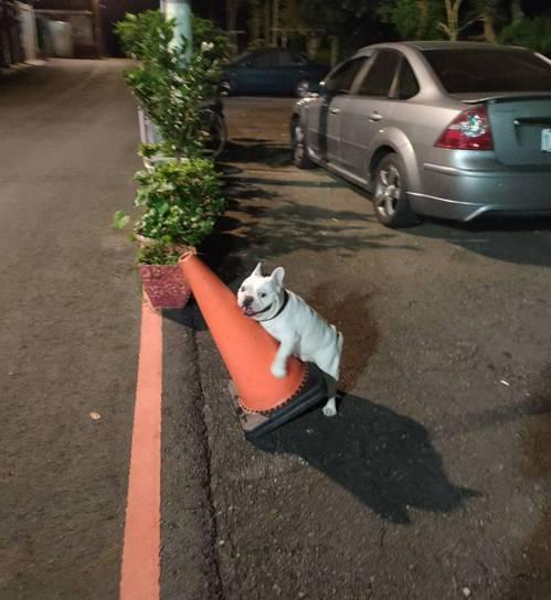 鬥牛犬阿旺喜歡抱交通錐女友愛愛 ,曾「擼」壞1隻交通錐。圖/讀者提供