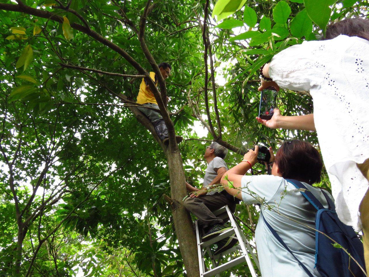 基隆內寮濕地出現尖翅翠蛺蝶國內首次發現記錄,生態保育人士在濕地旁的芒果樹,尋找尖...