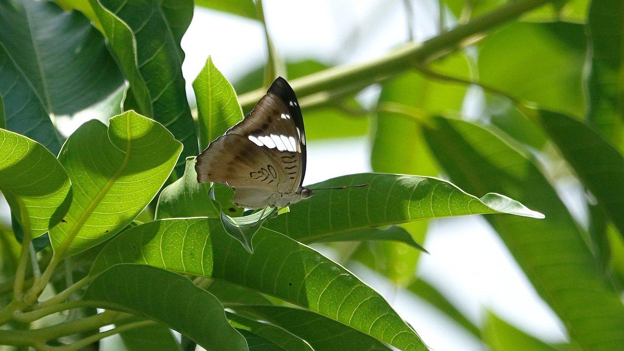 基隆港邊的芒果樹上出現尖翅翠蛺蝶雌蝶。圖/沈錦豐提供