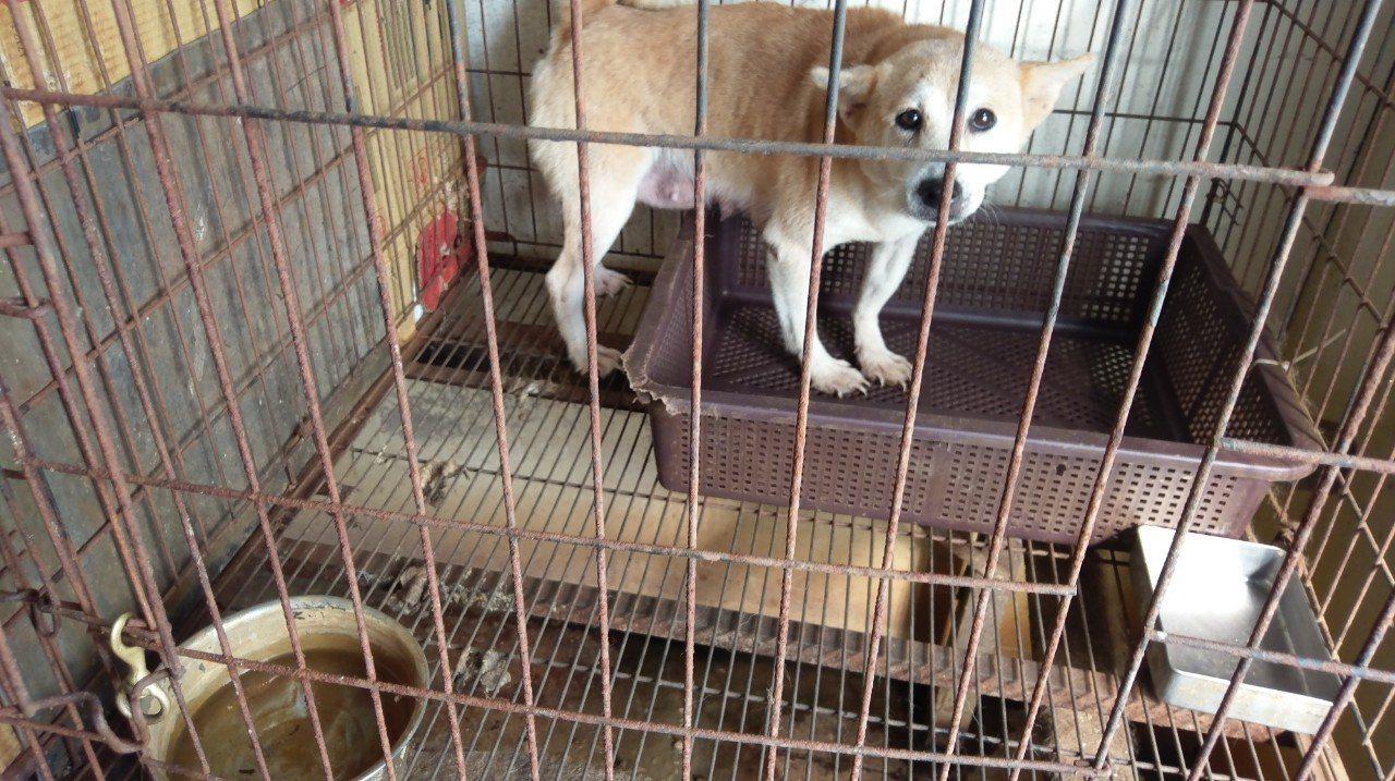 雲林縣動植物防疫所日前接獲民眾檢舉,昨在北港鎮僻靜鄉間破獲非法繁殖狗場,救出來路...