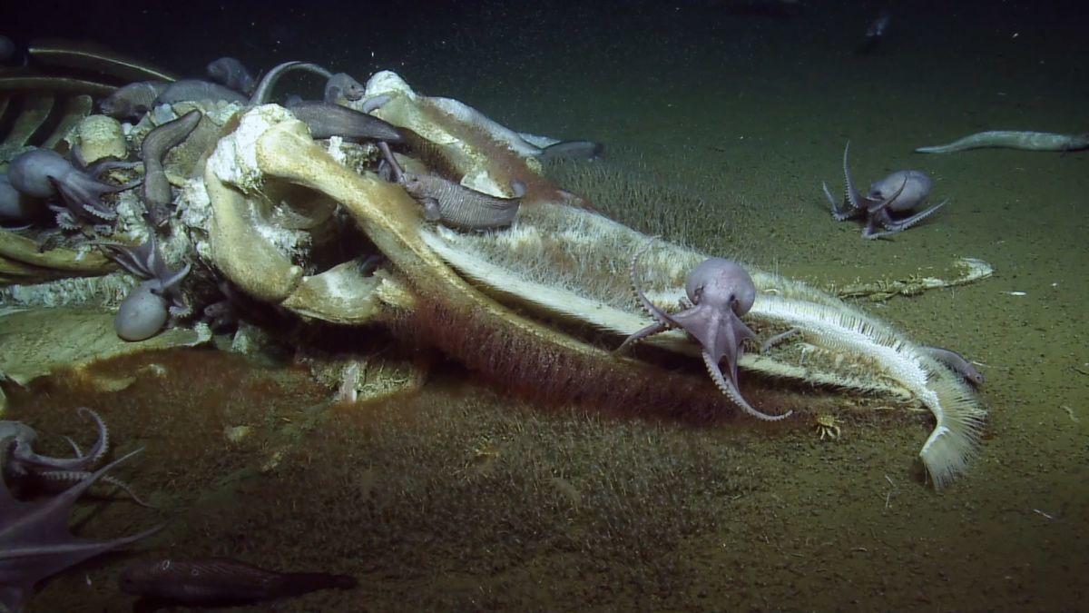 美國深海研究船「鸚鵡螺號」16日在加州外海海床拍到「鯨落」現象。周圍還有一群章魚...