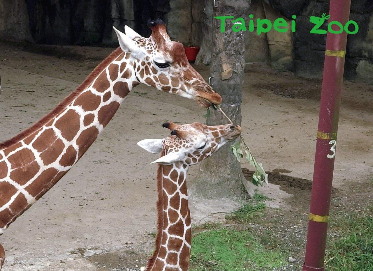 長頸鹿寶寶「麥照」(右)有時看著媽媽「小麥」(左)嘴裡叼了一把樹葉,還調皮的想搶...
