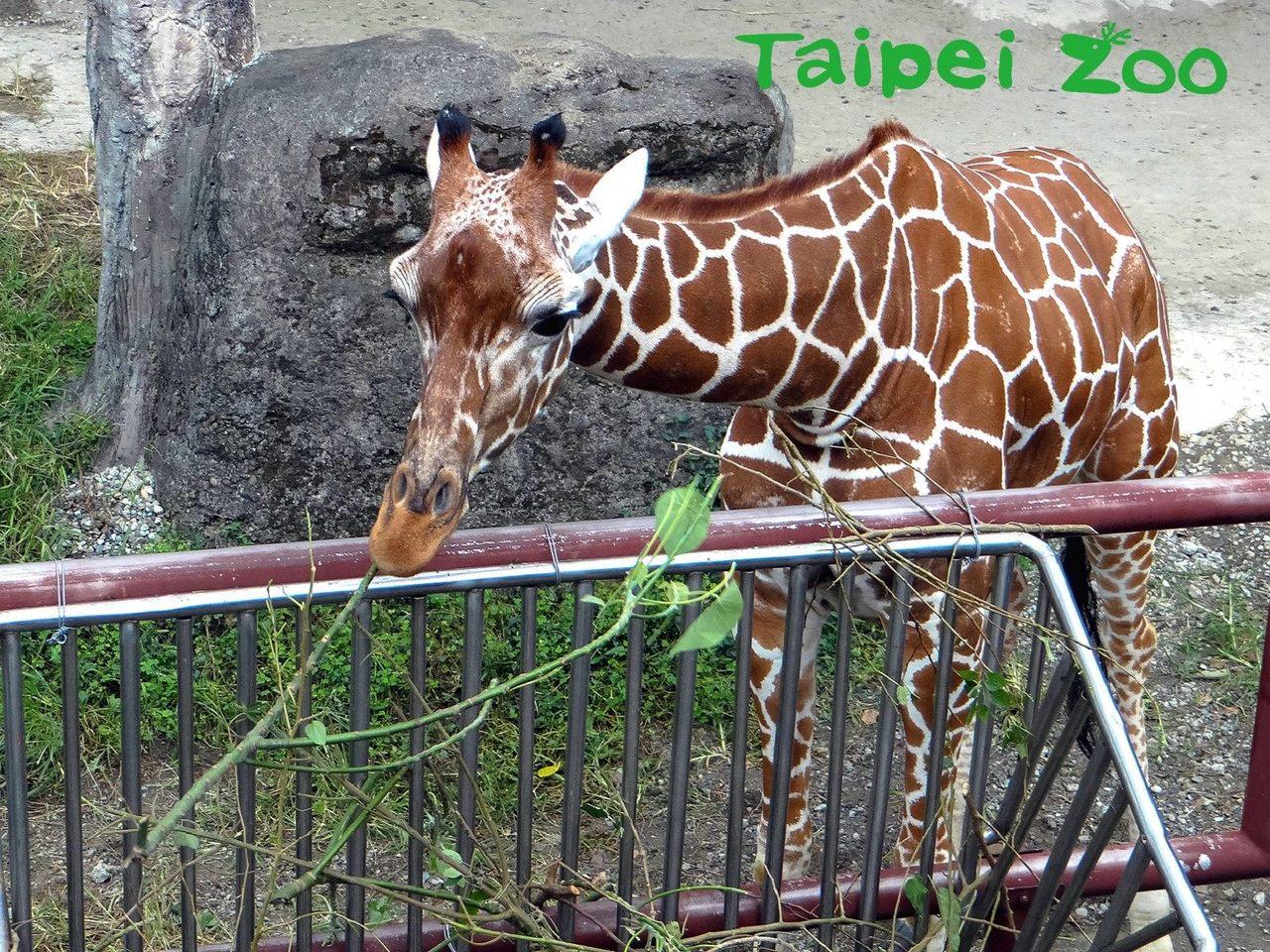 長頸鹿寶寶「麥照」。圖/台北市立動物園提供
