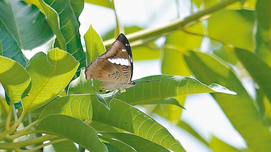 基隆港邊芒果樹發現尖翅翠蛺蝶。 圖/沈錦豐提供