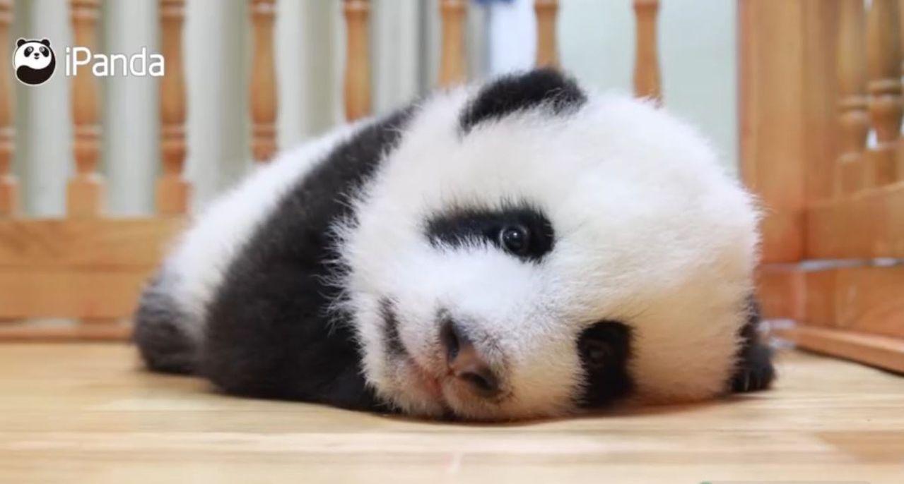 大熊貓寶寶的認養共分為年度認養、終身認養和冠名認養三種形式。圖/世界日報提供